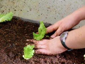 Little lettuce