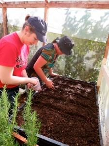 Planting cilantro seeds